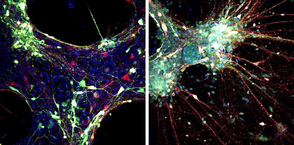 fluorescence microscopy images of the cells